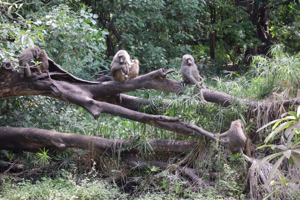 babouins lac manyara tanzanie safari