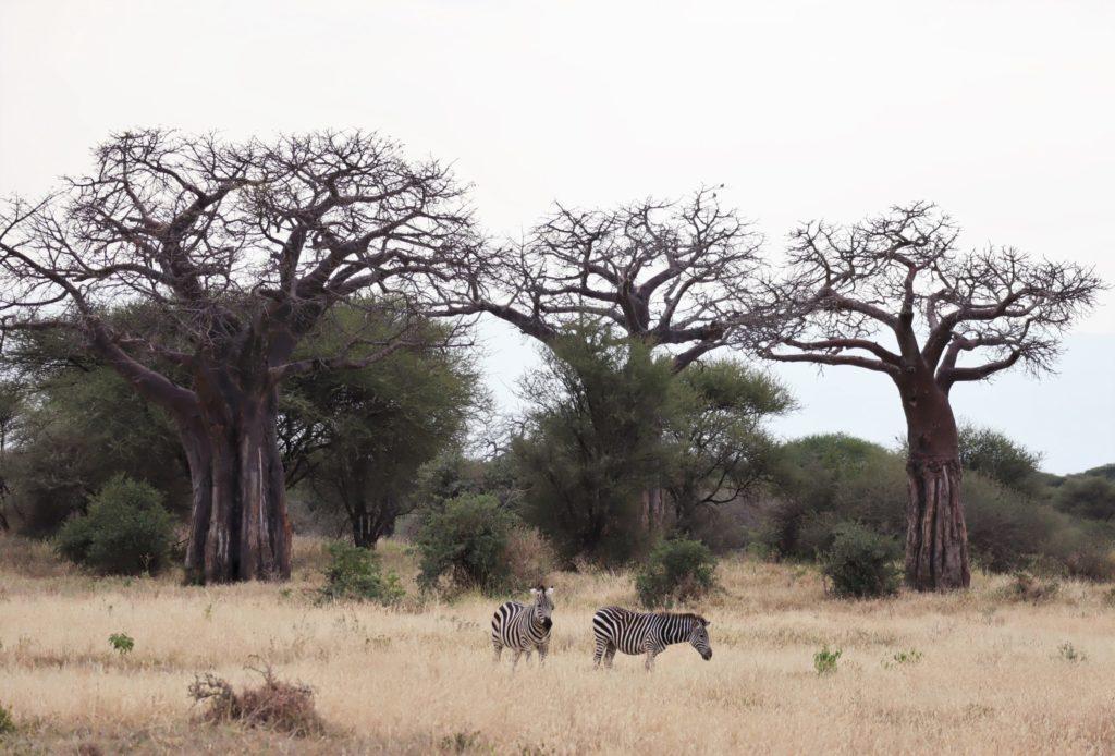 zebres avec baobab au tanragire