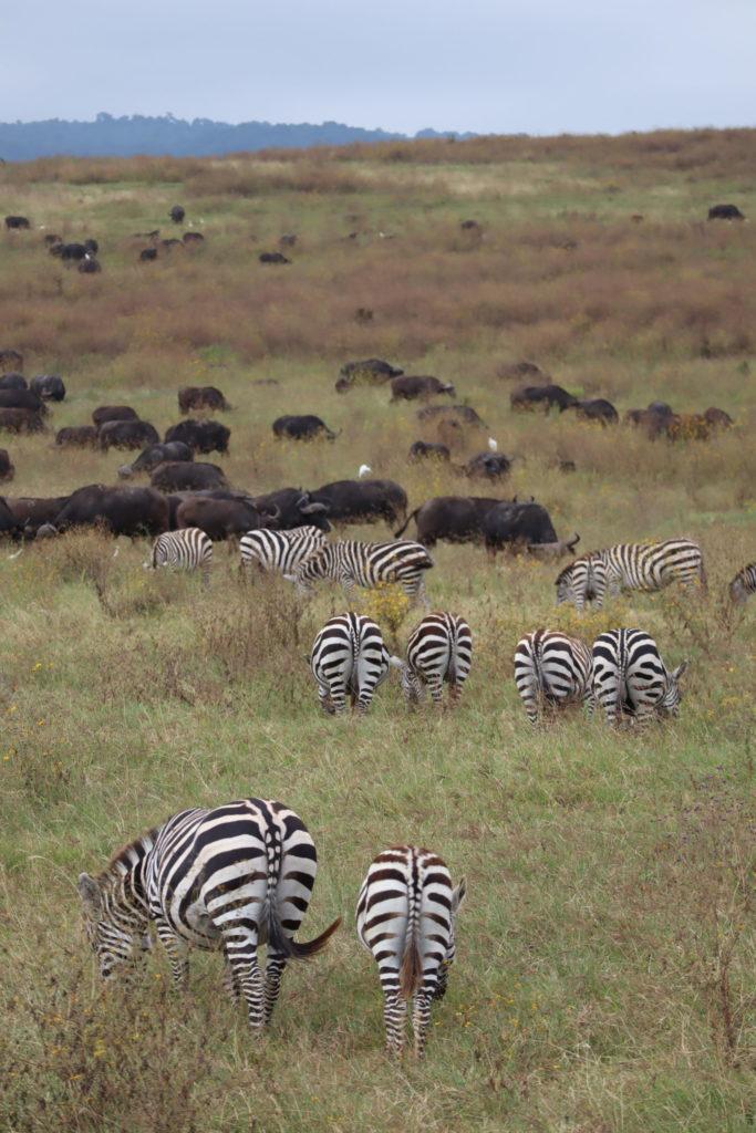 groupe de zèbre et buffles ngorongoro tanzanie safari