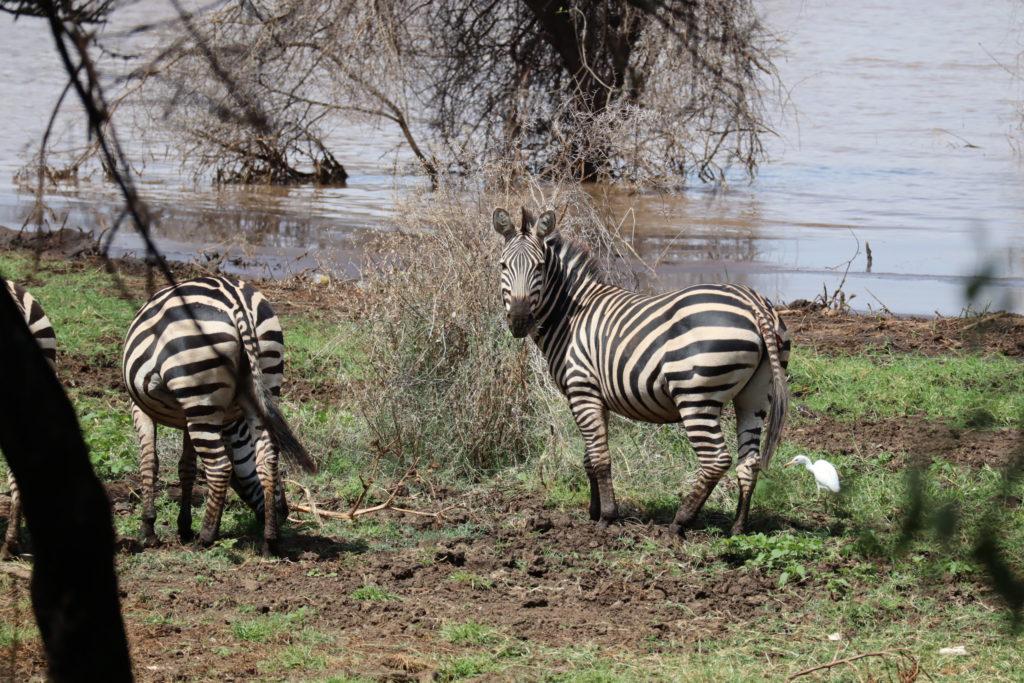 zèbres lac manyara tanzanie safari