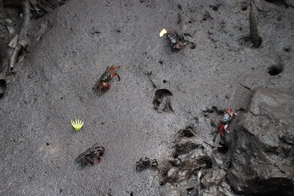 crabes mangove jozani forest zanzibar