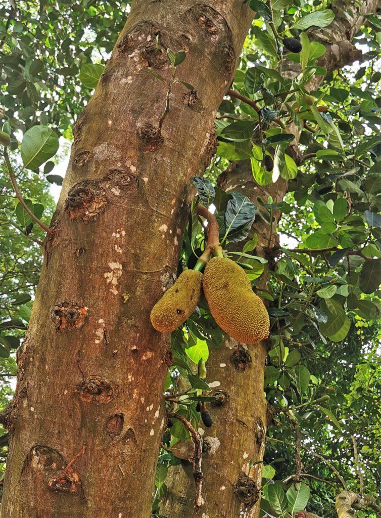 fruit jacquier ferme epices zanzibar