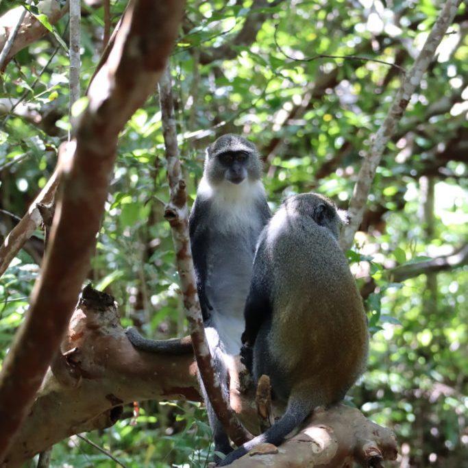 2 singes dans arbres jozani zanzibar