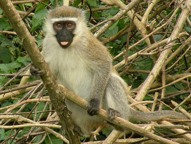 Vervet Monkey photo credit: Ben Tullis
