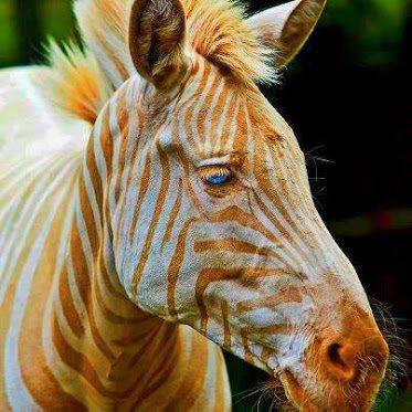 golden-zebra