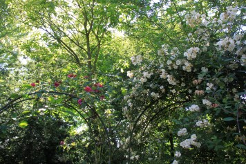 Le jardin des lianes - rosiers