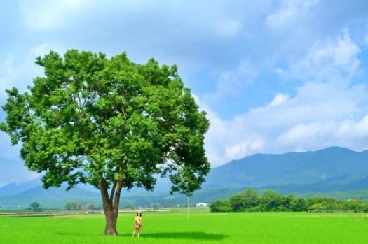 台東景點 池上伯朗大道腳踏車行:天堂之路、金城武樹、白色相框