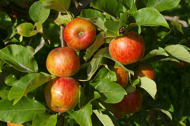 Applejack Season in New England