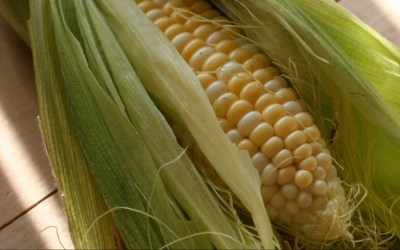 August is the Season of Summer Fresh Sweet Corn