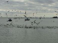 Gulls, cormorants abound