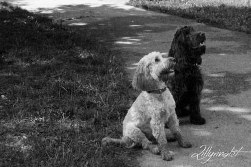 black and white photo of black and white Cockapoo dogs at the park