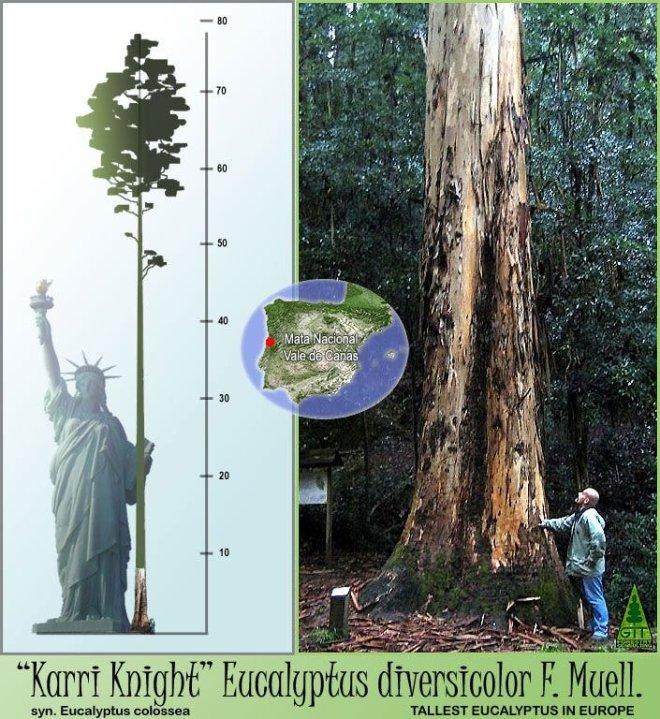 albero più alto d'europa è in portogallo