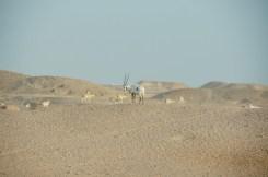 The grand Arabian Oryx (Dhabi)