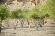 Mountain gazelle feeding