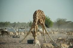 Giraffe stealing the deer's food