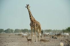 Giraffe staring at us