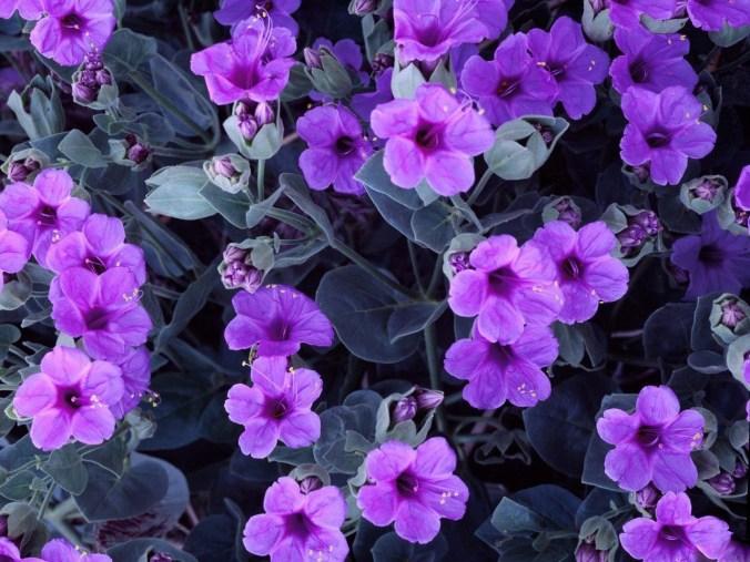 violets_2