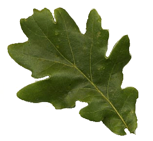 The Majestic Maple (2/2)