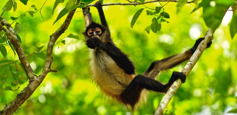 spider monkey belize