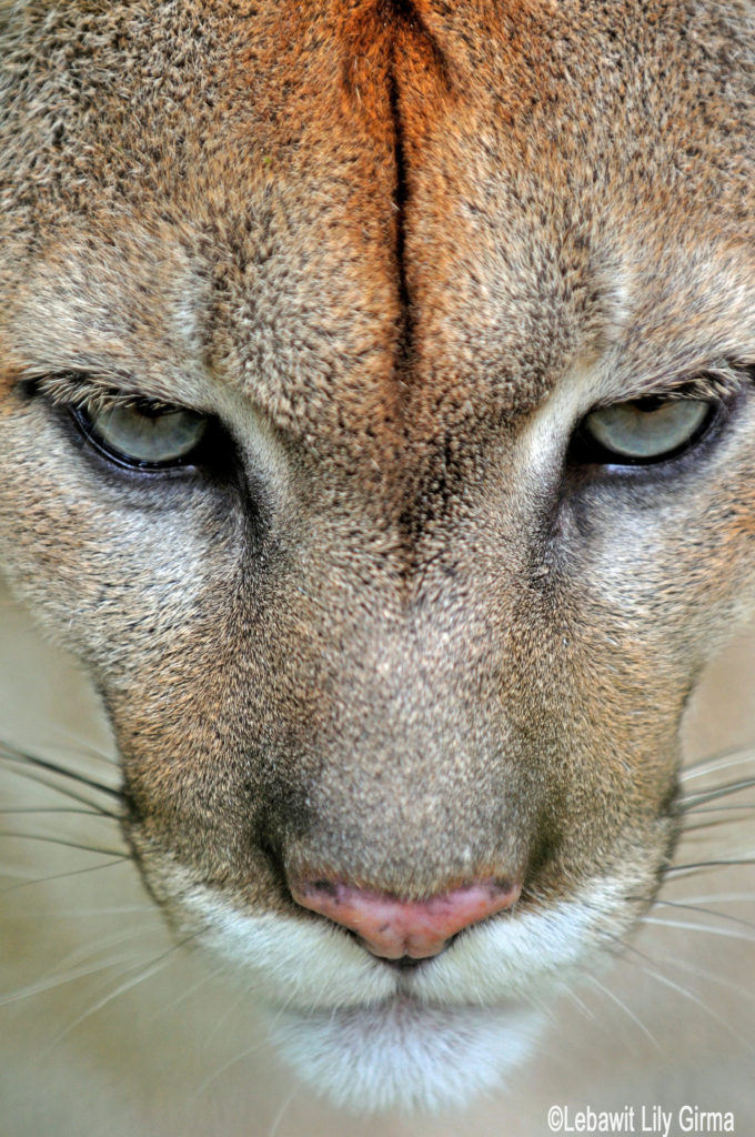 Close up of puma eyes at Belize Zoo.