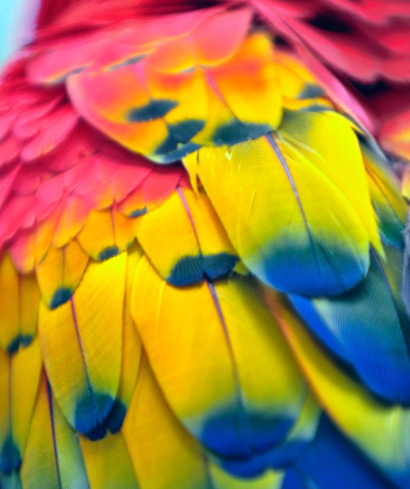 Multicolored feathers of scarlet macaw in Belize.