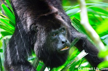 howler monkey in tree in belize