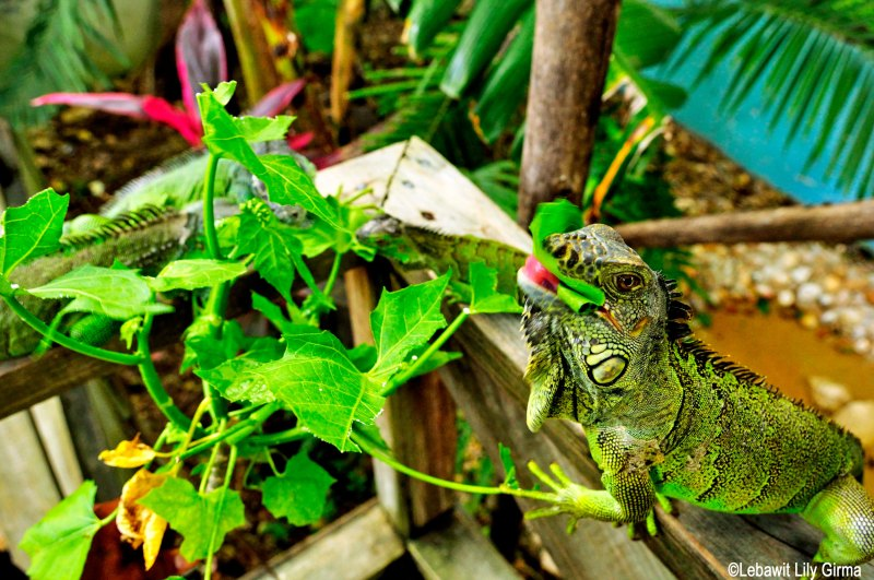 Iguana eating a leaf in Belize.