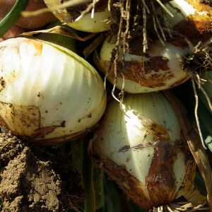 onions, harvest, agriculture