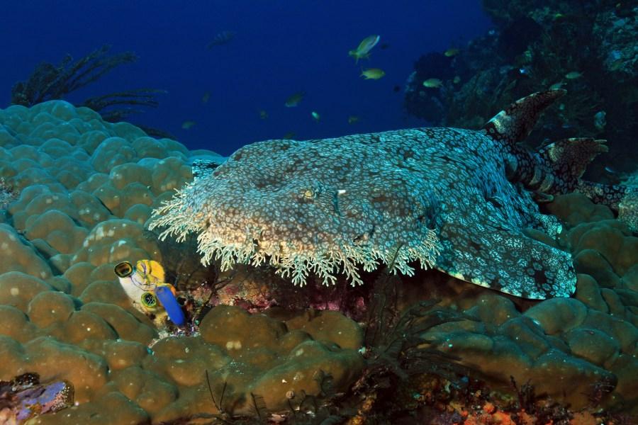Wobbegong on Coral Reef