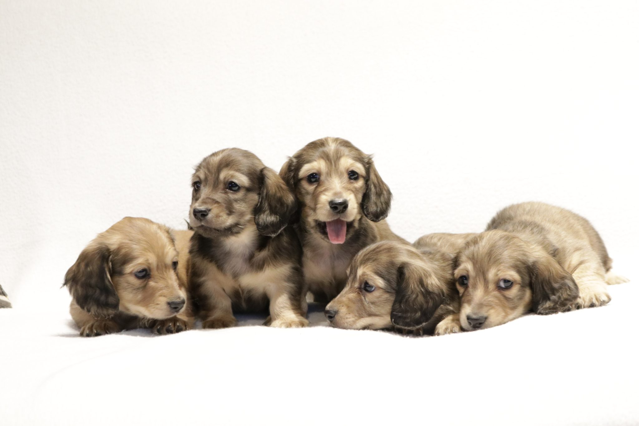 Miniature dachshund English Cream puppies for sale & future expected