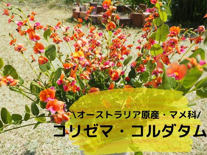 コリゼマ・コルダタム(ヒイラギマメ)