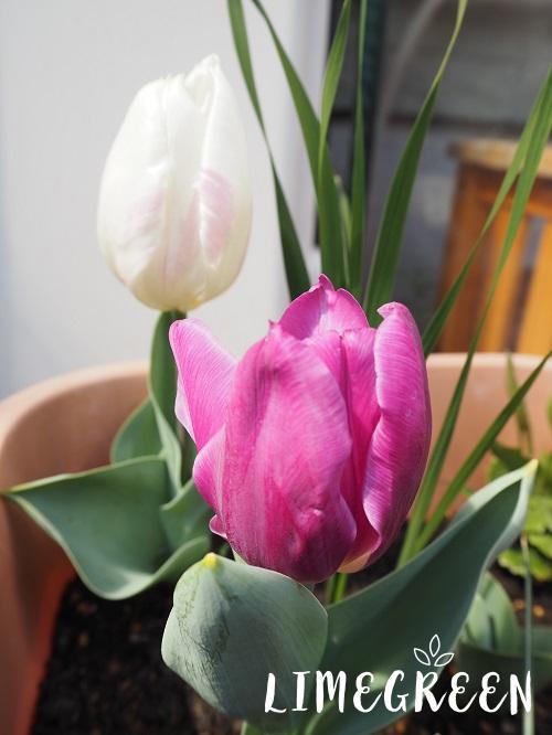 咲いたばかりのチューリップ