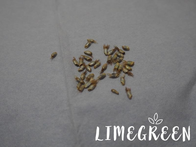 ヤグルマソウの種子