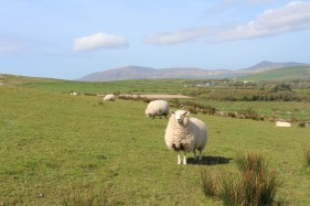 Sheep everywhere!