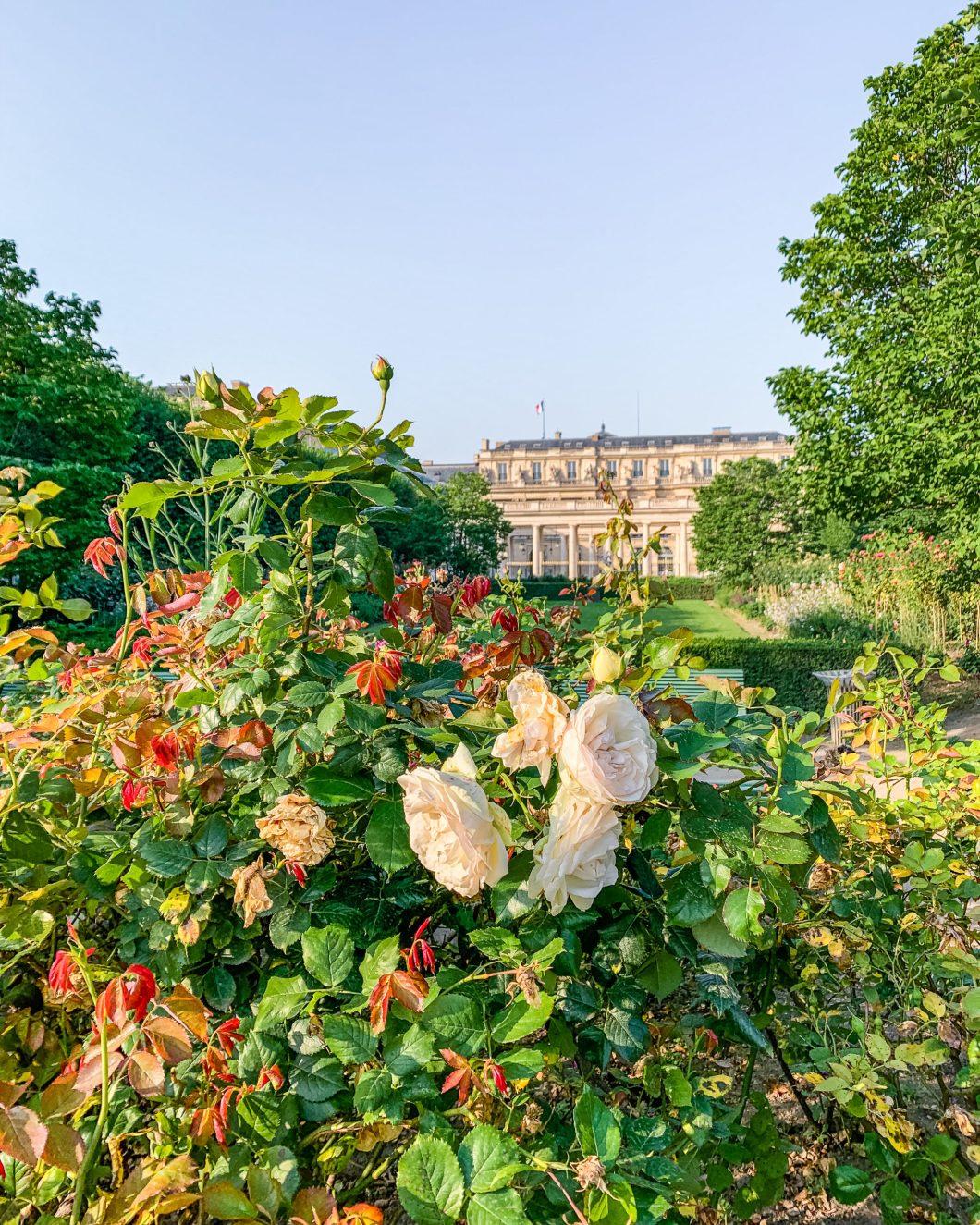 Roses in the garden of the Palais Royal - Paris