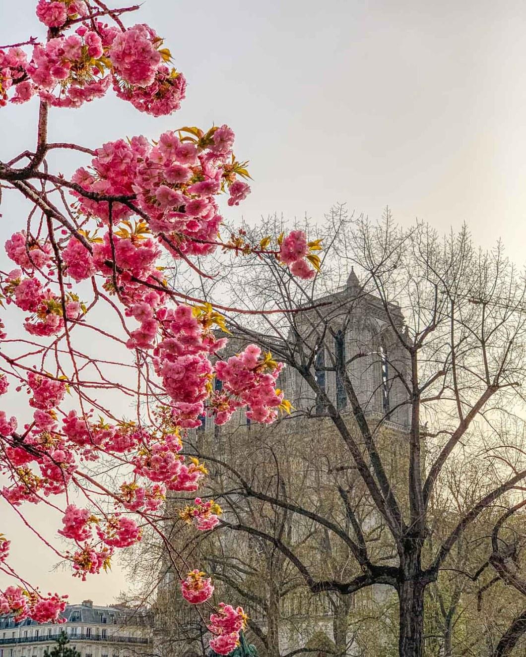 Cherry blossoms at Notre Dame - Paris