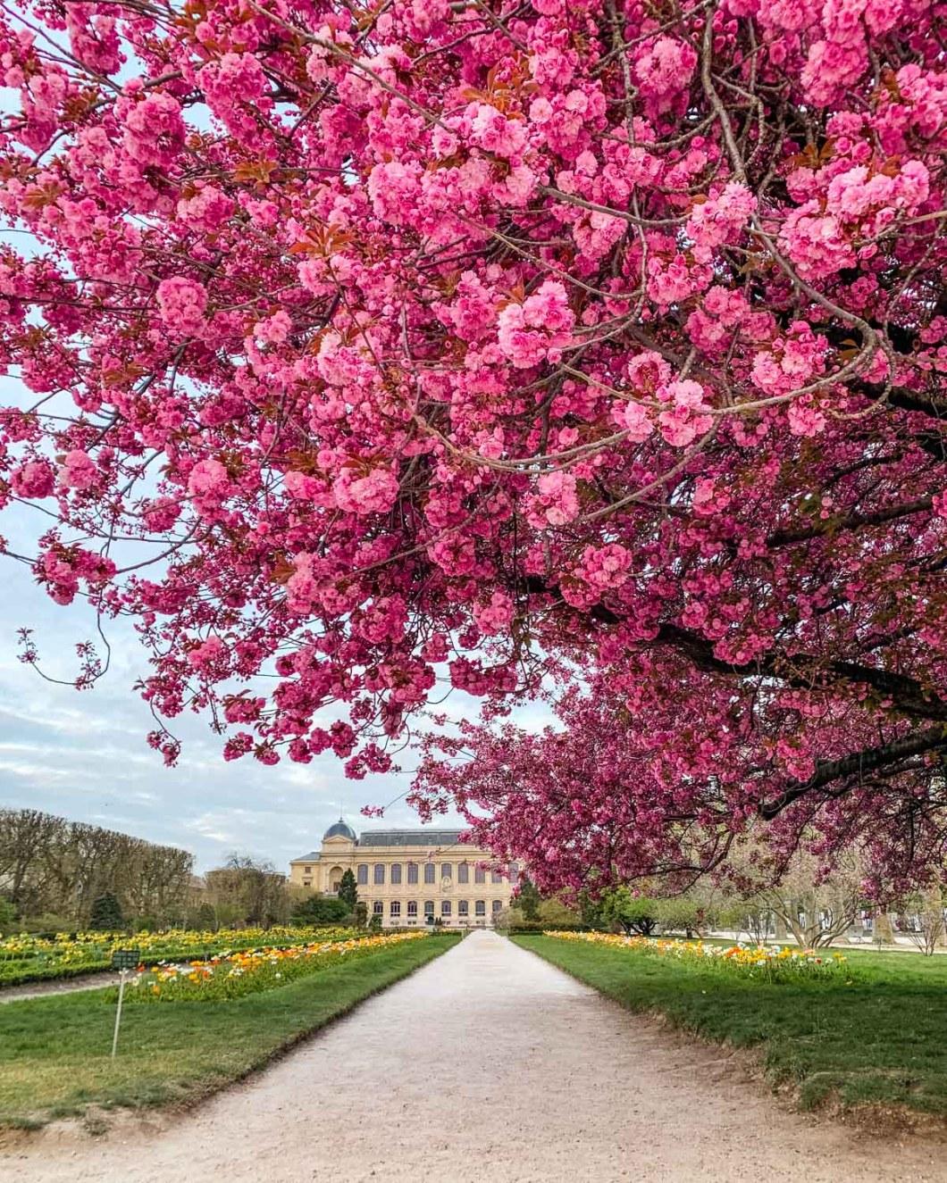 Cherry blossoms in the Jardin des Plantes - Paris