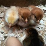 Get Most of Your Chicks In A Row