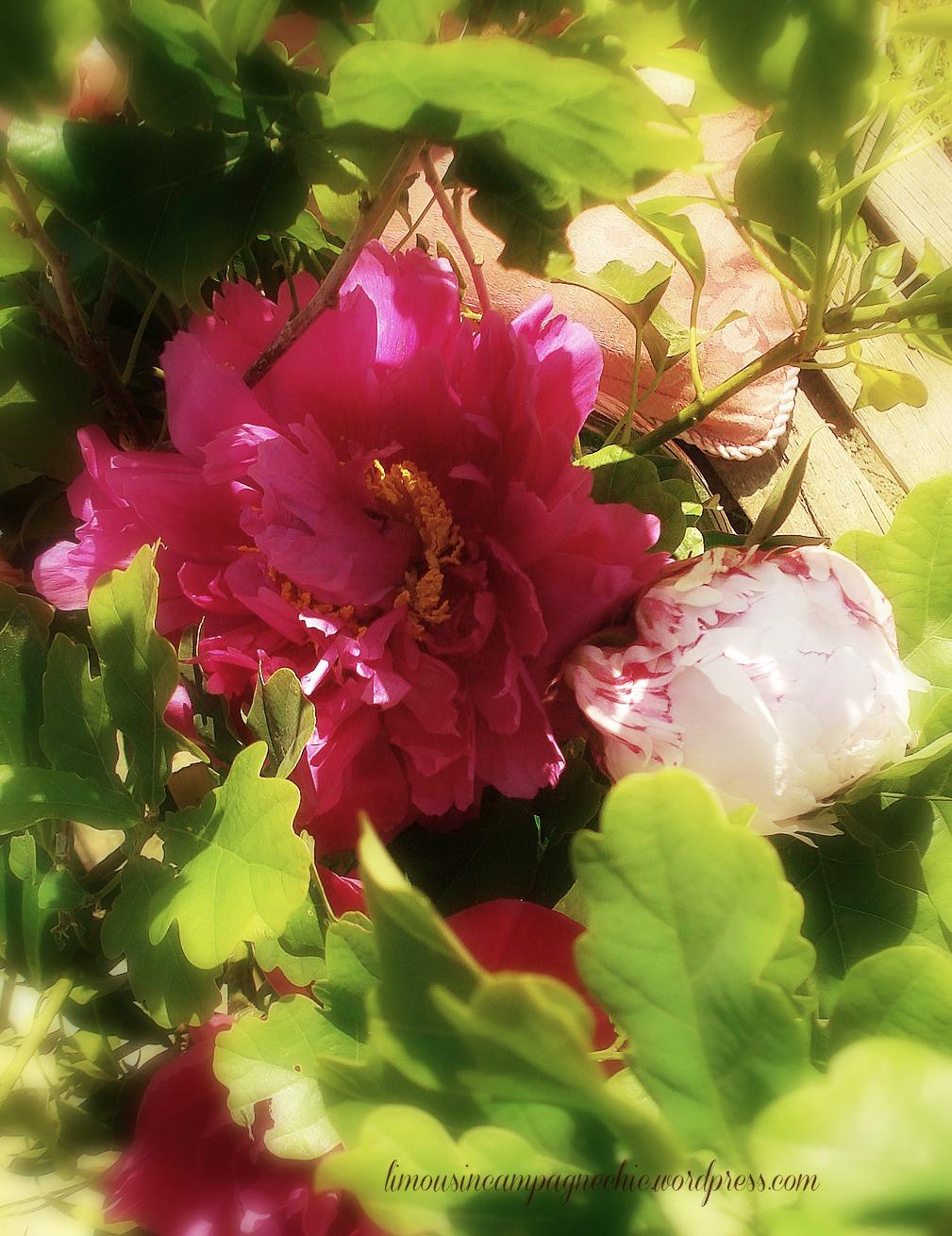 Pivoines roses romantiques – Romantic pink peonies