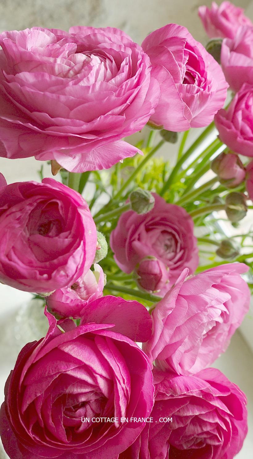 renoncules-roses-un-cottage-en-france