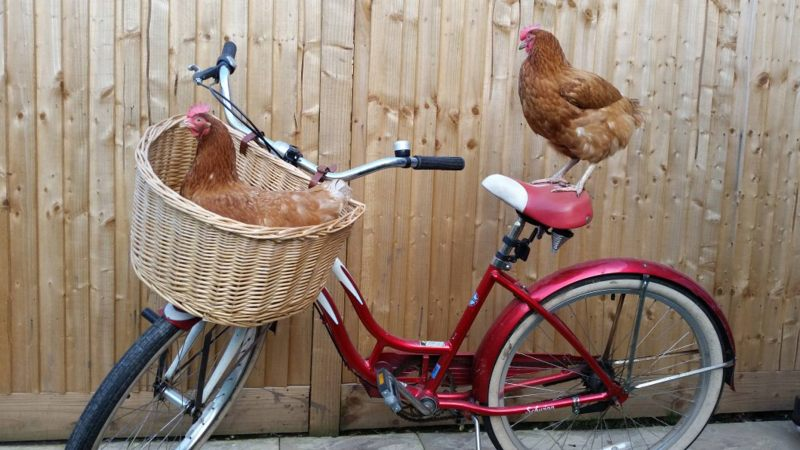 2,000 ex-commercial hens are in need of a home before Christmas. Photo: Rosemary Norman