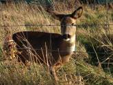 Much-loved Lincolnshire park deer put down after savage dog attack