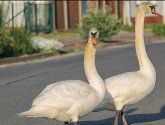 Confused drivers take evasive action to avoid loose swan on Lincolnshire motorway