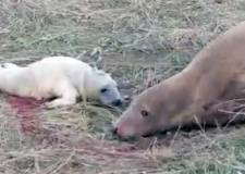 Adorable! Seal gives birth to pup on camera at Donna Nook