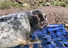 Watch as cute seal pup rescued miles from sea released back into wild