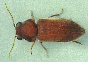 Anobiid (Deathwatch) Beetle