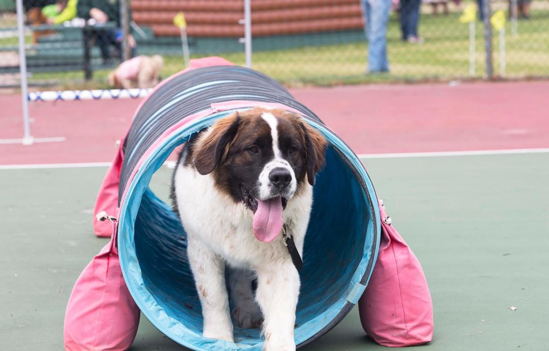Dog Days of May Fairmont Jasper Park Lodge