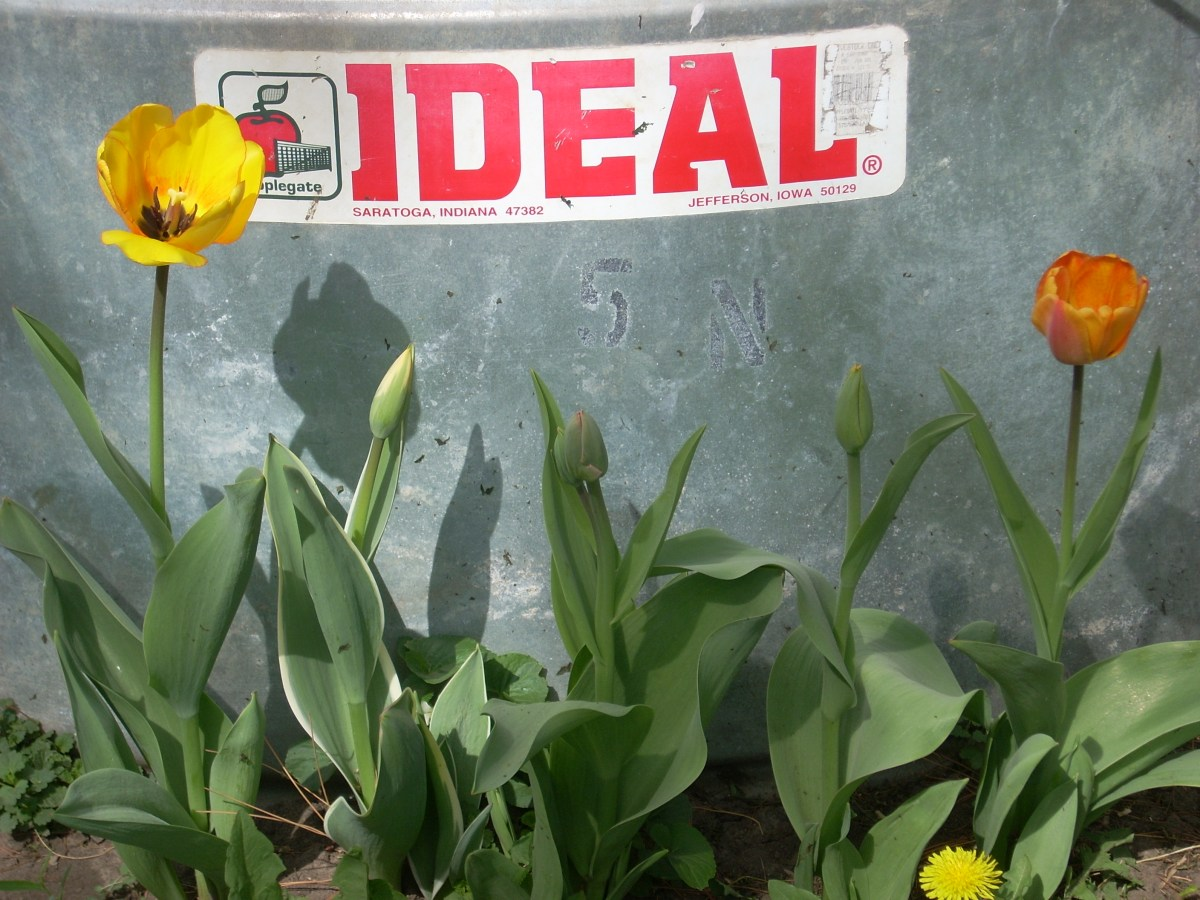 picture of an IDEAL sign on a cattle tank with blooming tulips in front