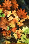 """Florals : Splendor in Fall, Watercolor painting of autumn leaves in full fall color by Linda Abblett. Original 15"""" x 22"""" $900; giclee same size as original $130"""