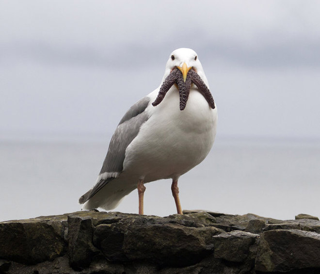 seagull with a starfish in its mouth